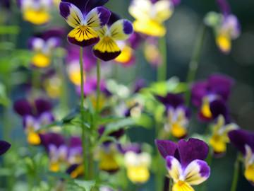 purplepansyparty2