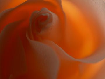 peachrose4