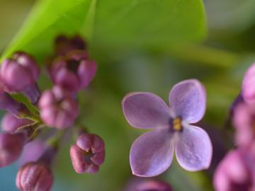 purplelilac