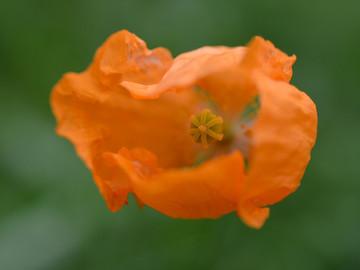 orangepoppy.jpg