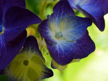 bluepurplehydrangea