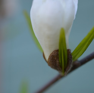 magnoliabudbranch2.jpg