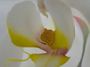 whiteorchid5