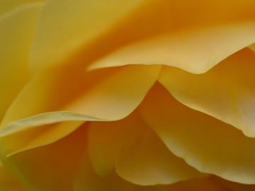yellowrosepetal1