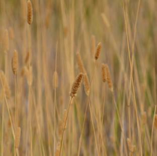 fieldgrass