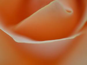 peachrose3.jpg