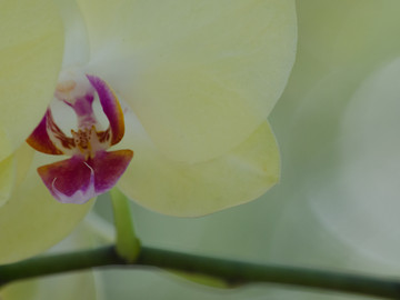 paleyelloworchid