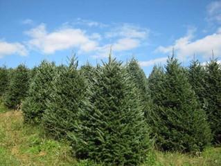 CHRISTMAS TREES!!!