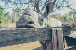 Saving Rhinos