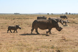 Saving the Rhinos