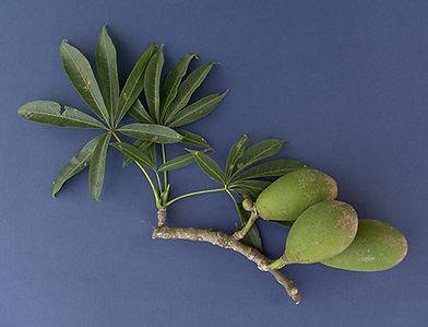 Ceiba-leafruit.jpg