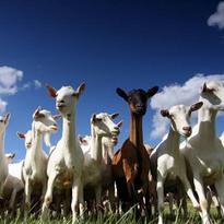 Goat rental for weeds