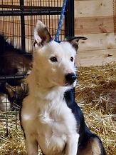 Goat shepherd dog