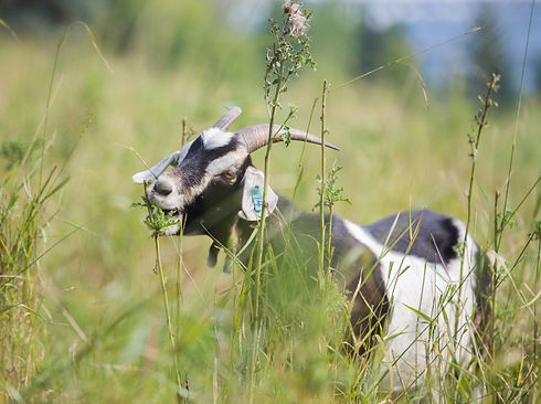 Goats for Weeds - How It Works