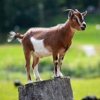 Goat rentals