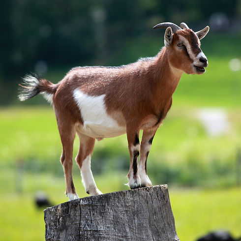 Weed Control Using Goats