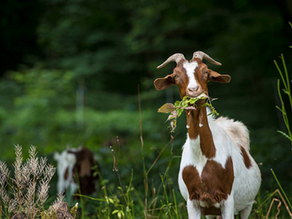 Why Goats Are Better Than Pesticides