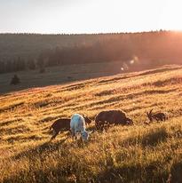 Goats eliminate weeds