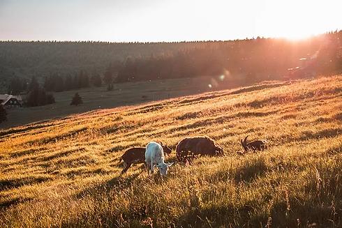 goats in field.webp