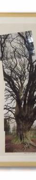 Beech tree (Sue Kirk).jpg