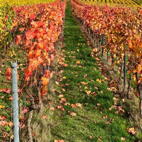 """Herbst"" in the Vineyards"
