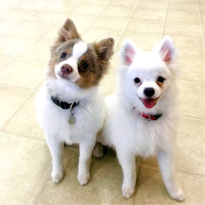 the Pomeranian brothers are double troub