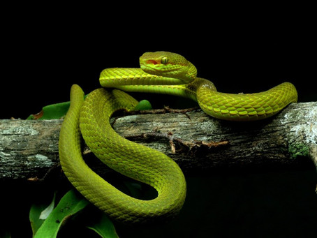 Introducing The Pit Viper!