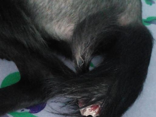 Itabuna-Ba: Família pede ajuda para cirurgia de cachorrinha acidentada