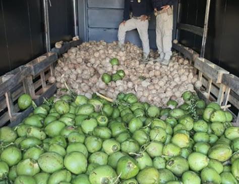 Quase meia tonelada de maconha é encontrada em carga de coco que saiu de Porto Seguro