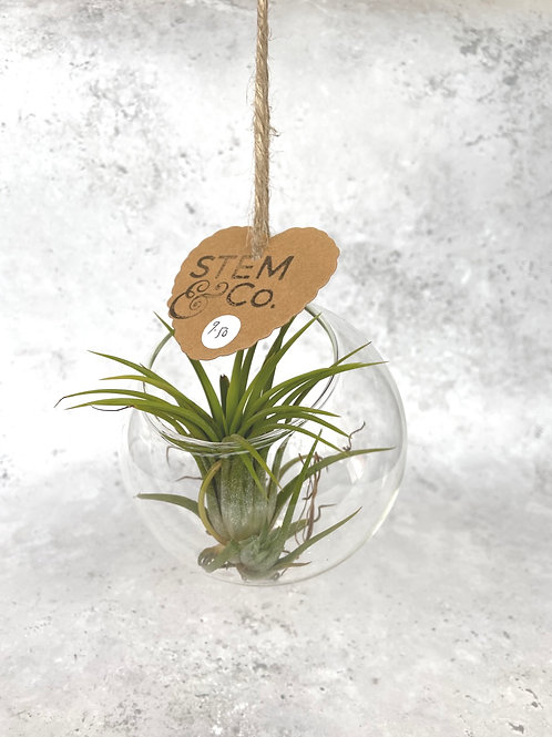 Air Plant in Hanger by Stem&Co