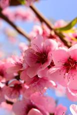 Pfirsichblüten ganz nah