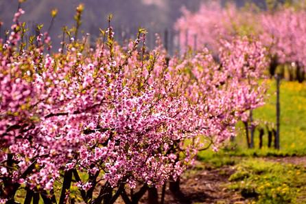 Weinbergs-pfirsichbäume