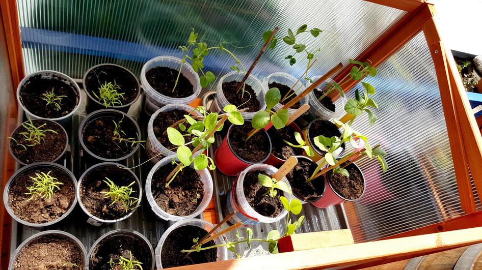 Kürbispflanzen 6 Wochen vorher