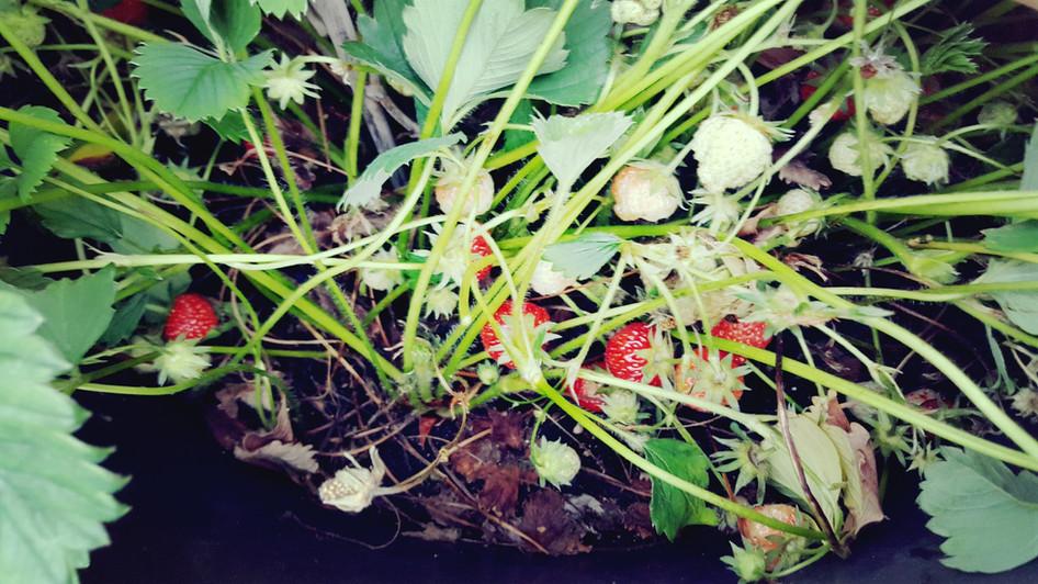 """Erdbeeren im """"Kübelwald"""""""