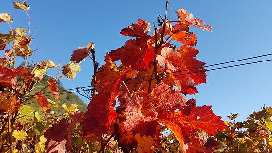 Weinlaub rot im Herbst am 31.10.2020 by