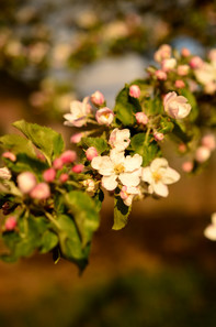 Frühlings-blüten