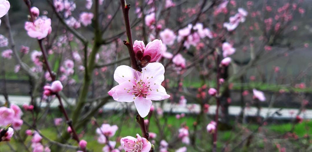 Wingerts-pfirsichblüten in Cond