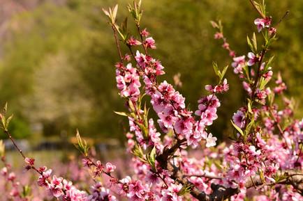 Wingerts-pfirsichbaum