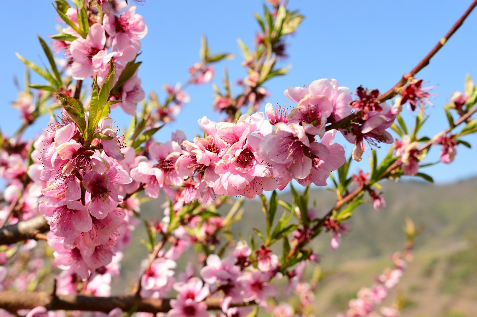 Weinbergs-pfirsichblüten