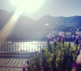 Lavendel-blüten in der Sonne