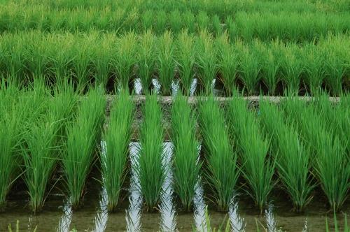 rizière arles