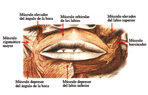 Número de músculos que trabajan durante un beso.