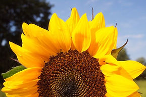 sunflower-606751__340.jpg