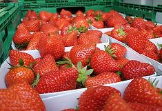Erdbeeren Thurnheerobst.jpg