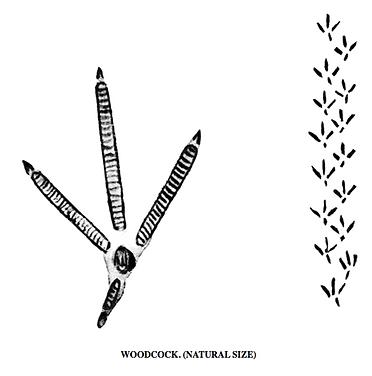 woodcock tracks.png