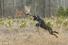 Hunting dog on point.jpg