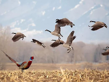 The Great Canadian Goose Hunt and Other Casualties...