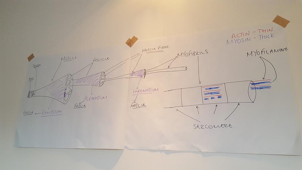 Muscle Fibre Diagram