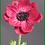 Thumbnail: Box = 12 Anemone Spray 24""