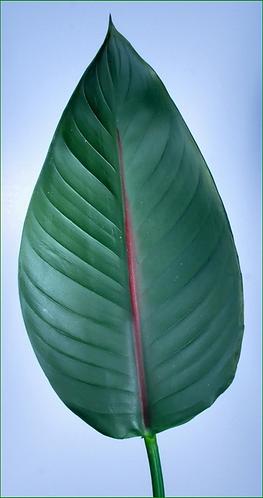 "Box = 12 Bird of Paradise Leaf Small 34"""